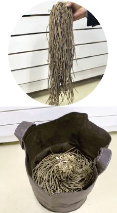 アスパラガスの根株は1000~2000円で販売されています。植え付け時は、根先を広げて
