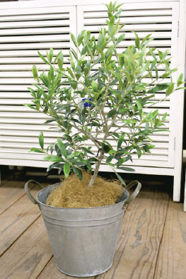 オリーブの木をシンボルツリーに 成長に合わせてせん定を