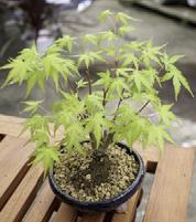 2.鉢に鉢底ネットを敷き、赤玉土を入れ、苗を植えます。上から根が隠れるくらいまで赤玉土をかぶせます