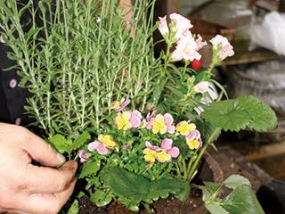 1.底石と培養土を入れ、苗を植えます。苗は下葉を間引き、風通りを良くします。今回は、高さのある苗を背後にし、三角形をつくるイメージで。肥料も忘れずに