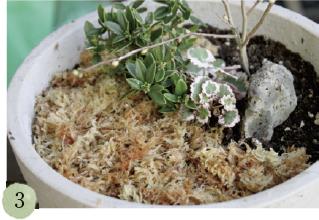 水やりの時、土と白砂利とが混ざらないように、水ゴケを敷きます。水ゴケは土の乾燥を防ぐ役割もあります