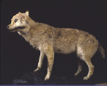 特別展示・ニホンオオカミ