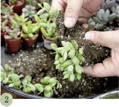 多肉植物の根をほぐしながら、親株と子株を分けていきます。ほぐしている途中で根が切れても大丈夫。成長すれば根付いてきます。