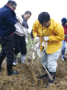 農機で土を堀り起こした後、テコの原理を利用して、1本ずつ土から掘り出します