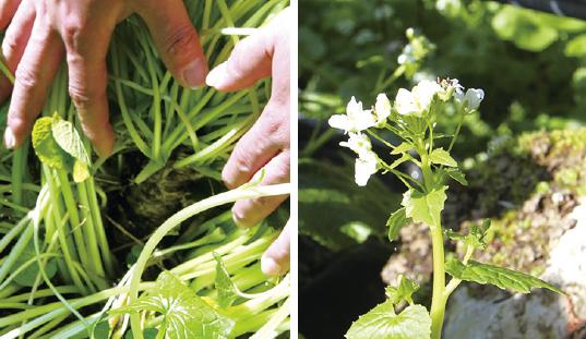 (左)上に向かって伸びるわさびのいも(右)3~4月に収穫されるわさびの花