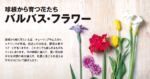 球根から育つ花たち バルバス・フラワー
