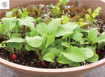 プランターで楽しむ家庭菜園【夏編】<Br> カラフルラディッシュとリーフレタス<Br> 間引きながら、収穫を待って !