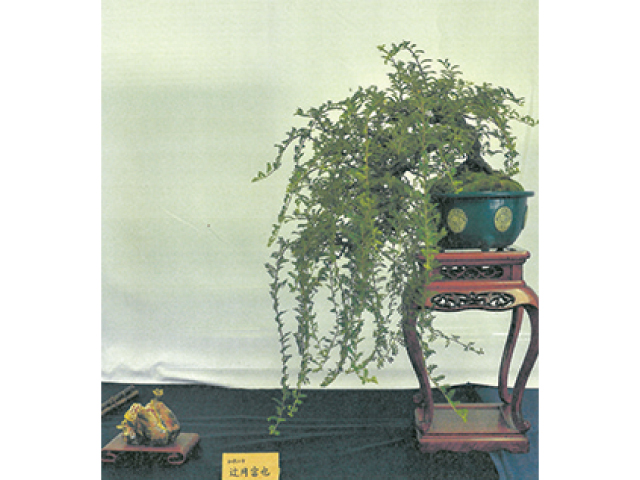 緑和会盆栽展