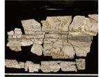 大型ヒゲクジラ類の化石