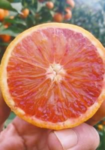 ブラッドオレンジ「モロ」