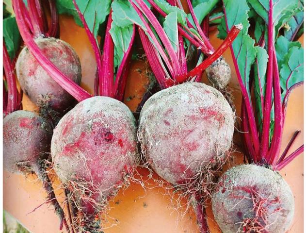 プランターで楽しむ家庭菜園【春編】 ポリフェノールなど栄養分がたっぷり 真っ赤なビーツの栽培に挑戦 !